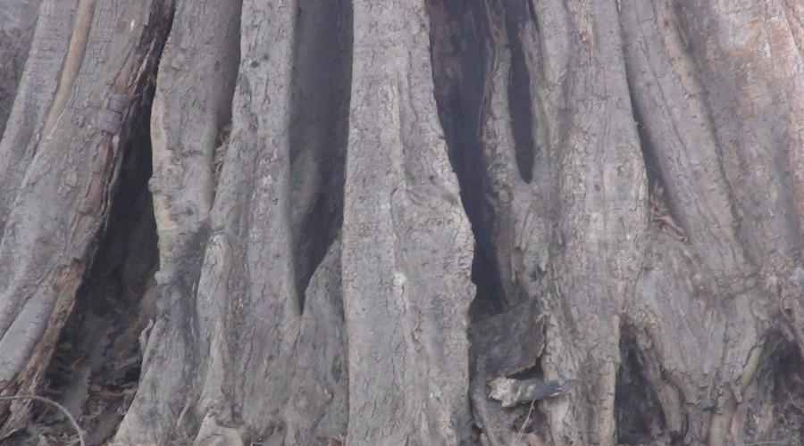 Base du Tronc d'un des plus vieil arbre de Tabatô