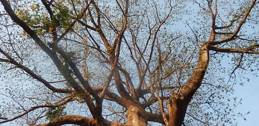 Baobab du village